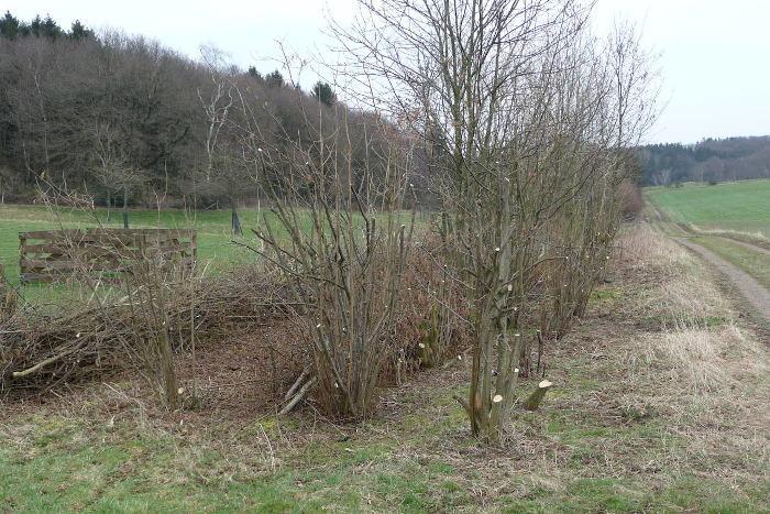 Pfegemaßnahme: Heckenschnitt in Hürtgenwald.